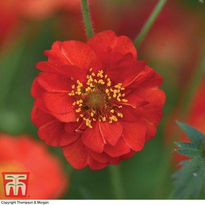 Geum flore-plena