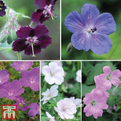 Hardy Geranium Mixed