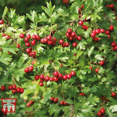 Hawthorn (Hedging)