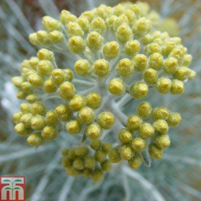 Helichrysum thianschanicum