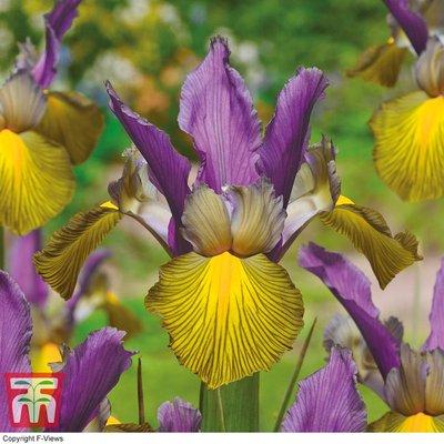 Iris x hollandica