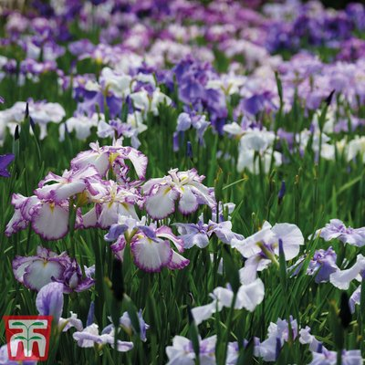 Iris ensata Dinner Plate Collection