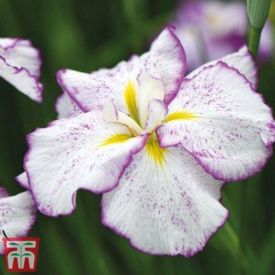 Iris ensata Dinner Plate
