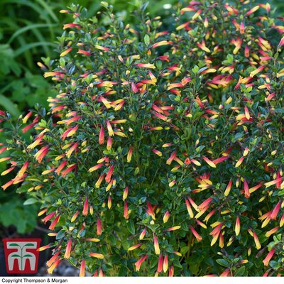 Brazilian Fuchsia