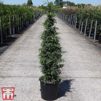 Juniperus communis Suecica Group