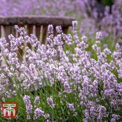 Lavender spicata