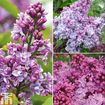 Lilac Lucky Dip