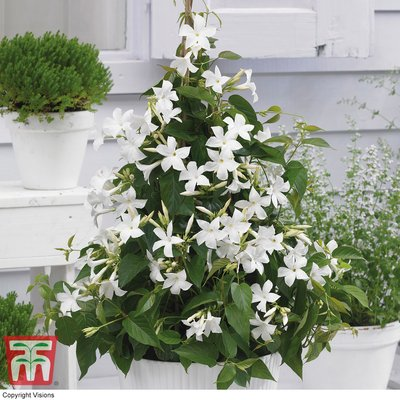 Mandevilla Bloom Bells� White