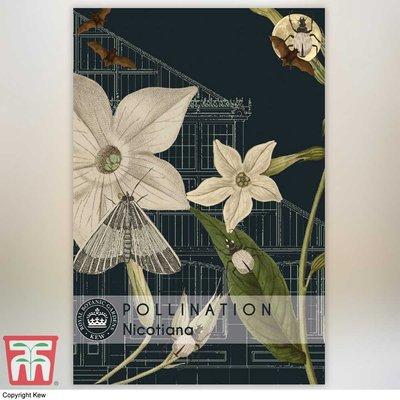 Nicotiana alata - Kew Pollination Collection