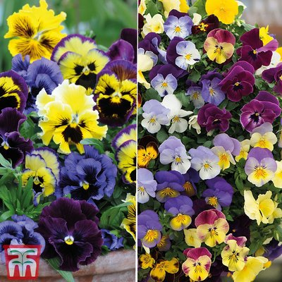 Pansy Garden Ready Duo