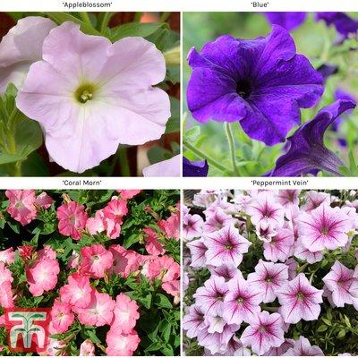 Petunia Grandiflora Collection