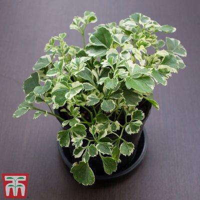 Polyscias balfouriana (House Plant)