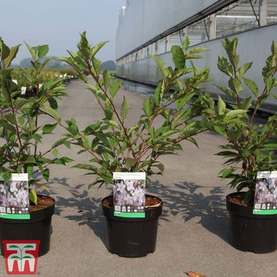 Prunus nipponica var. kurilensis