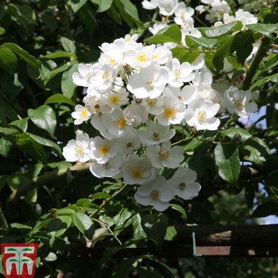 Rose filipes