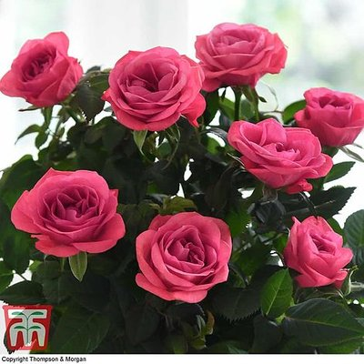 RosAroma? Scented Rose
