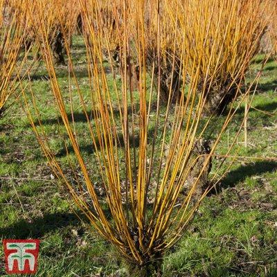Scarlet Willow (Hedging)