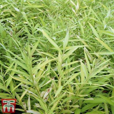 Salix udensis