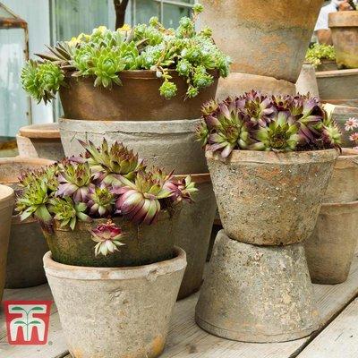 Sedum Mix (House Plant)