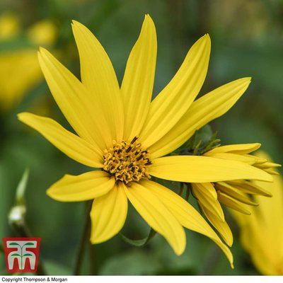 Sunflower maximiliani