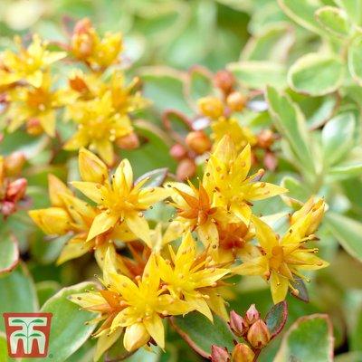 Sedum kamtschaticum var. floriferum