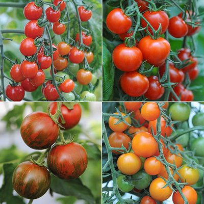 Nurserymans Choice Tomatoes