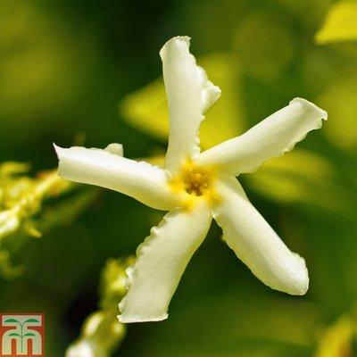 Trachelospermum asiaticum (Large Plant)