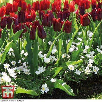 Tulip and Anemone Mix