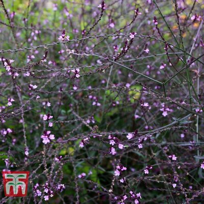 Verbena officinalis var. grandiflora