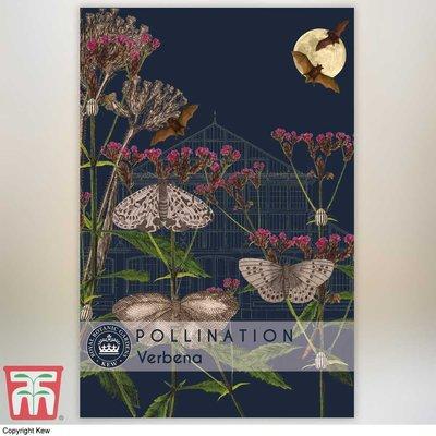 Verbena bonariensis - Kew Pollination Collection