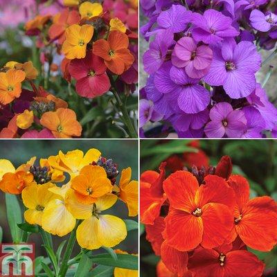 Nurserymans Choice Wallflowers