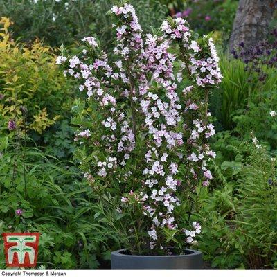 Weigela Towers of Flowers