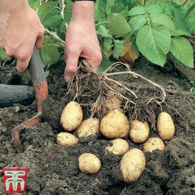 Potato Duo Collection