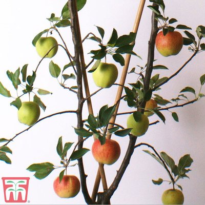 Apple Duo Patio Fruit Trees