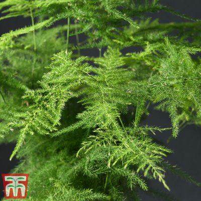 Asparagus Fern (House Plant Seeds)