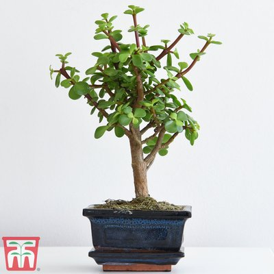 Bonsai Portulacaria (House Plant)