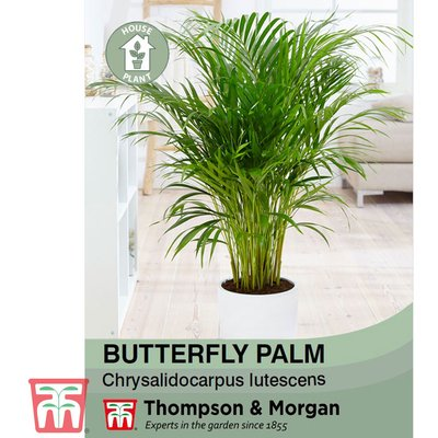 Butterfly Palm (House Plant Seeds)