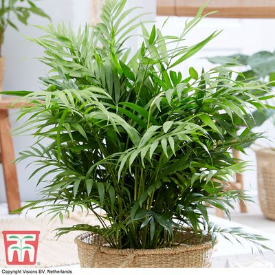 Parlour Palm (House Plant Seeds)