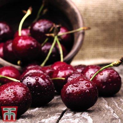 Cherry Duo Patio Fruit Trees