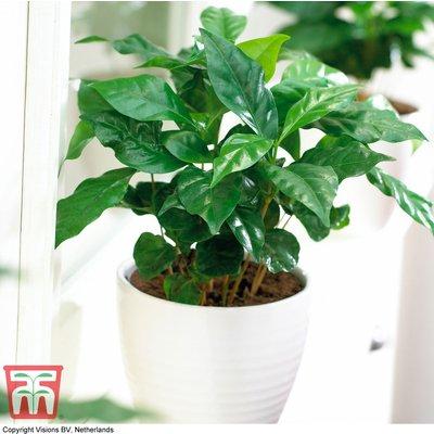 Arabian Coffee Plant (House Plant Seeds)