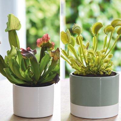 Carnivorous Plants Collection (House Plant)