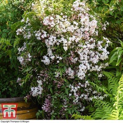 Jasminum x polyanthum