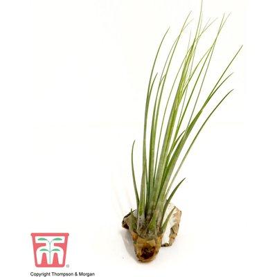 Tillandsia juncea (House Plant)