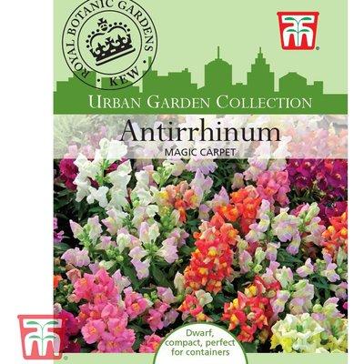 Antirrhinum majus pumilum