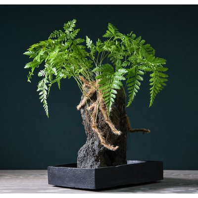 Davallia Plant on Lava Rock in a Tray (Lova plant) (House Plant)