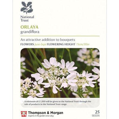 Orlaya grandiflora (National Trust)