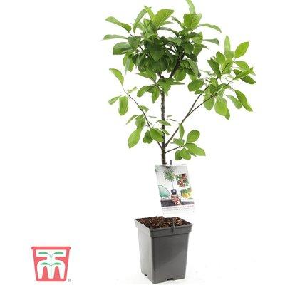 Plum Duo Patio Fruit Trees