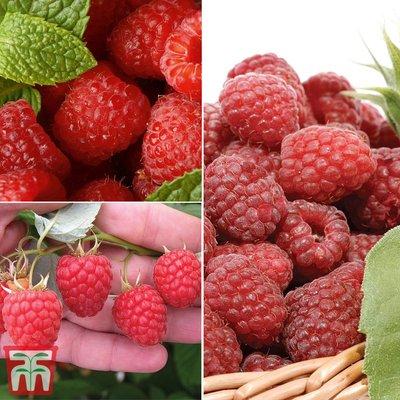 Raspberry Full Season Collection - RHS winners