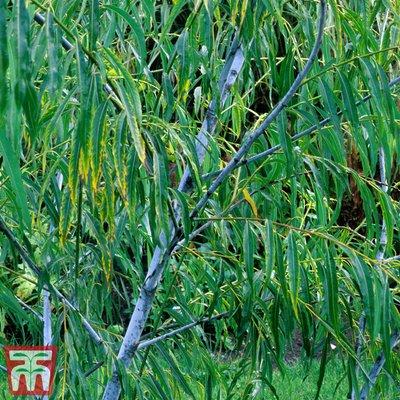 Salix acutifolia