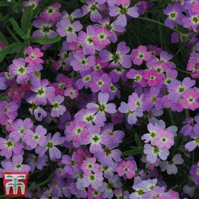 Virginia Stock Spring Sparkle