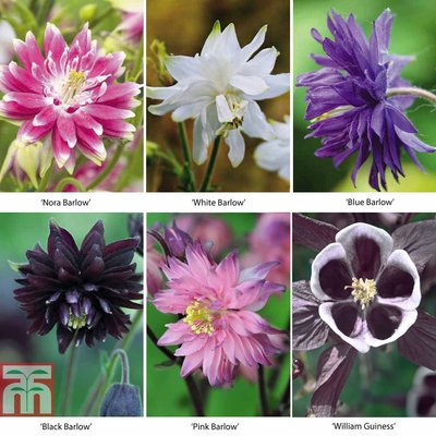 Aquilegia vulgaris Collection